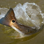 tailing redfish 150x150 FlatsWorthy
